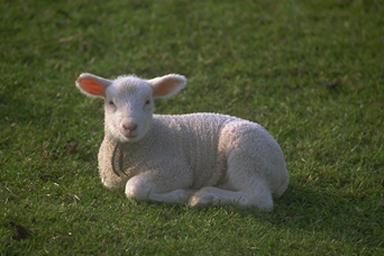 L'ovella menja-gossos